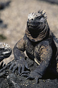 Lizards Photos - Galapagos Land Iguana by Steve Winter