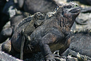 Galapagos Islands Posters - Galapagos Marine Iguana and Baby Poster by Matt Tilghman