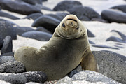 Pups Photos - Galapagos Sea Lion by David Hosking and Photo Researchers