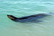 Sami Sarkis - Galapagos Sea lion swimming