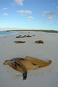 Galapagos Sea Lions Sleeping On Beach Print by Sami Sarkis
