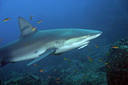 Authority Photos - Galapagos Shark by Sami Sarkis