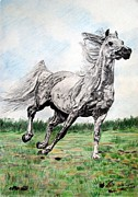 Wild Pony Drawings Prints - Galloping arab horse Print by Melita Safran