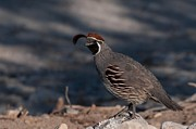 Dweller Prints - Gambel Quail Print by Martina Thompson