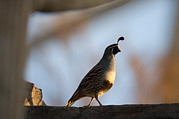 Desert Dome Photos - Gambels Quail At The Omaha Zoo by Joel Sartore
