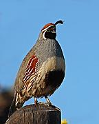 Quail Photos - Gambels Quail On Sunny Perch by Max Allen