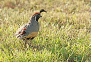 Gambel's Quail Rooster Print by David Cutts