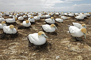 Sitting Photos - Gannet Colony by Sven Klerkx