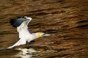 Concentration Prints - Gannet Flying Away From Water Level Print by Richard Wear