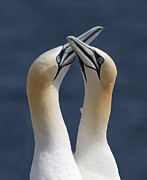Wildlive Prints - Gannets in love Print by Mircea Costina Photography