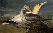 Beach Bird Paintings - Gannets by John James Audubon
