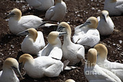 Nape Framed Prints - Gannets Nape-biting Framed Print by Ted Kinsman