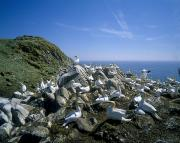 Flock Of Bird Art - Gannets On An Island, Saltee Islands by The Irish Image Collection