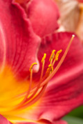 Daylily Photos - Garden Beauty by Reflective Moments  Photography and Digital Art Images