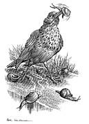 Garden Bird Catching Snails, Artwork Print by Bill Sanderson