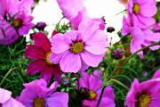 Decor.pink.green Flowers Posters - Garden Cosmos Poster by Cathie Tyler