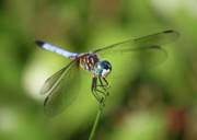 Nature Cards Photos - Garden Dragonfly by Carol Groenen