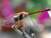 Suz Anne Wipperling - Garden Dragonfly