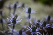 Thistles Photos - Garden Facets by Mike Reid