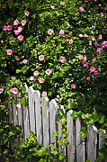 Pink Framed Prints - Garden fence with roses Framed Print by Elena Elisseeva