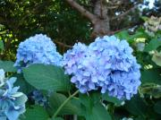 Hydrangea Photos - Garden Landscape Blue Hydrangeas art print Baslee Troutman by Baslee Troutman Art Print Collections