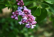 Lilacs Photos - Garden Lilac by Cathie Tyler