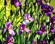 Pretty Flowers Photos - Garden of Irises by Jai Johnson
