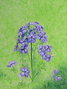 Phlox Drawings Originals - Garden Phlox by Tina McCurdy