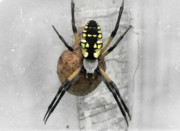 Yellow Black White Silver Prints - Garden Spider Print by Amber Flowers