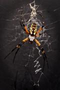 Tamyra Ayles - Garden Spider and Web