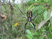 Friendly Spider Prints - Garden Spider Print by Tina M Wenger