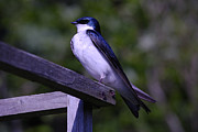 Swallow Photos - Garden Swallow by Randy Bodkins