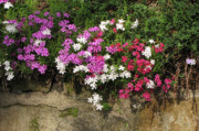 Phlox Framed Prints - Garden Wall Framed Print by Ann Bridges