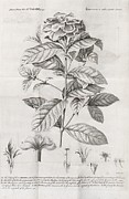 Gardenia Posters - Gardenia Plant, 18th Century Poster by Middle Temple Library