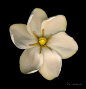 Gardenia Photos - Gardenia by Richard Wilhelm