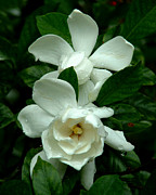 Gardenias Photos - Gardenias by Peg Urban