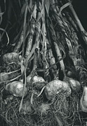 Pungent Prints - Garlic Bulbs Print by Alan Sirulnikoff