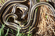 Breeding Digital Art Posters - Garter Snakes mating Poster by Mark Duffy