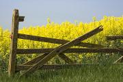 Rapeseed Photos - Gate Next To A Canola Field, Yorkshire by John Short