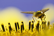 Honey Bee Photos - Gathering by Danielle Silveira