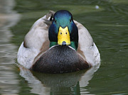 Gatlinburg Tennessee Prints - Gatlinburg Mallard Print by Elizabeth Coats