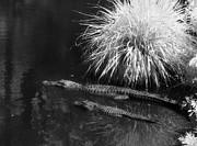 Jeff Holbrook - Gator Family in Swamp