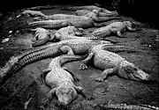 Gator Gang Print by Shane Rees