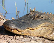 American Alligator Prints - Gator Grin Print by Al Powell Photography USA