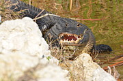 Susan Mcnamara Metal Prints - Gator Looking At You Metal Print by Susan McNamara