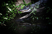 Gator Prints - Gator Reflect Print by Karol  Livote