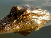 Head Shot Digital Art Prints - Gator reflection Print by David Lee Thompson