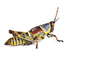 Mar2613 Art - Gaudy Grasshopper Silaka Nature Reserve by Piotr Naskrecki
