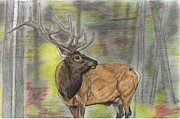 Elk Drawings - Gaurding the Harem by Don  Gallacher