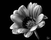 Flower Photos Posters - Gazinia in Black and White Poster by Endre Balogh